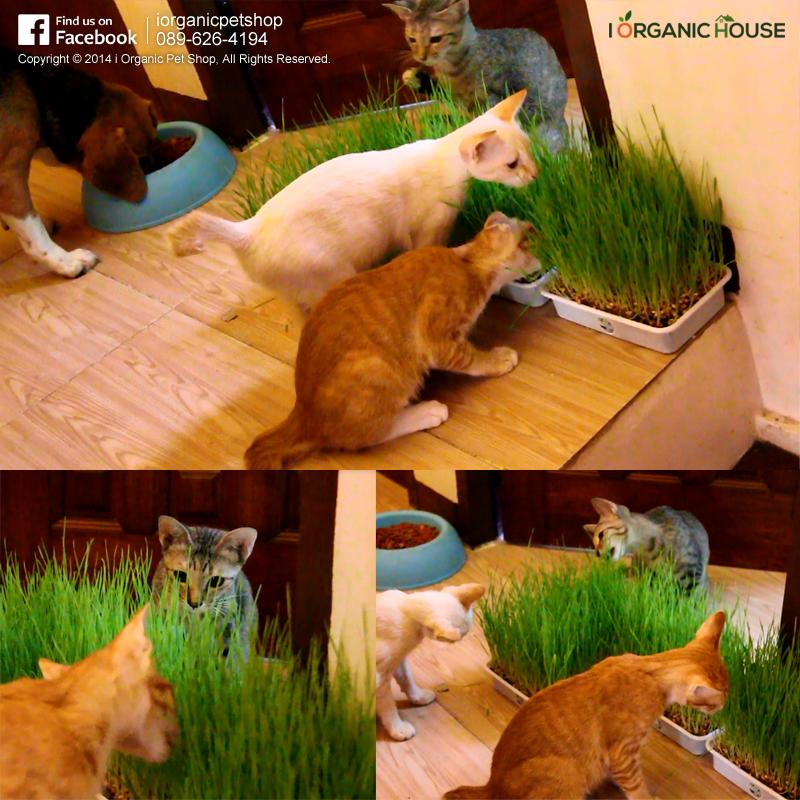 รีวิว ชุดปลูกข้าวสาลี ชุดปลูกต้นอ่อนข้าวสาลี หญ้าแมว ข้าวสาลีแมว