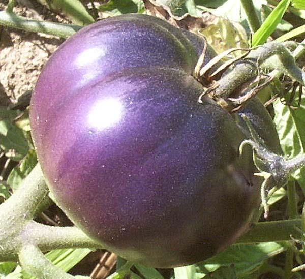 Purple Tomato (มะเขือเทศม่วง)