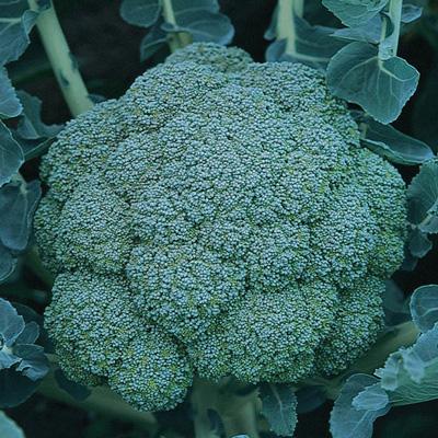 Arcadia Broccoli (อาคาเดียร์ บล็อคโคลี่ย์ฺ)