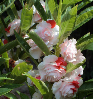 เทียนซ้อน(ซองใหญ่ )สีขาวคลิบส้ม ริบบี้ออเร้นท์ balsam lipbe Orange / 10กรัม