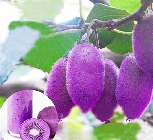 กีวีสีม่วง Purple Kiwi / 10 เมล็ด