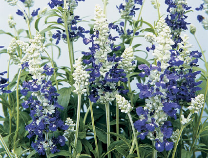 Salvia Farinacea Strata Bicolour ซัลเวีย ฟาริเนเซีย สเตรต้า ไบคัลเลอร์ / 30 เมล็ด