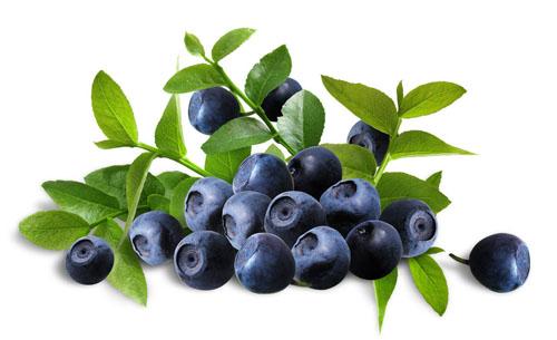 สารสกัดจากบลูเบอร์รี่ (Blue berry extract)