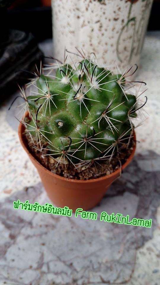 กระบองเพชร cactus