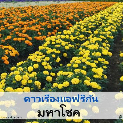 ไม้ตัดดอก ดาวเรือง มหาโชค 1.49-1.85 บาท/เมล็ด