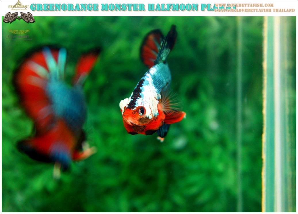 """(ขายแล้วครับ)""""คัดเกรดประกวด""""ปลากัดครีบสั้น-Over Halfmoon Plakats Fancy Dragon Green Orange Monster Quality Grade"""