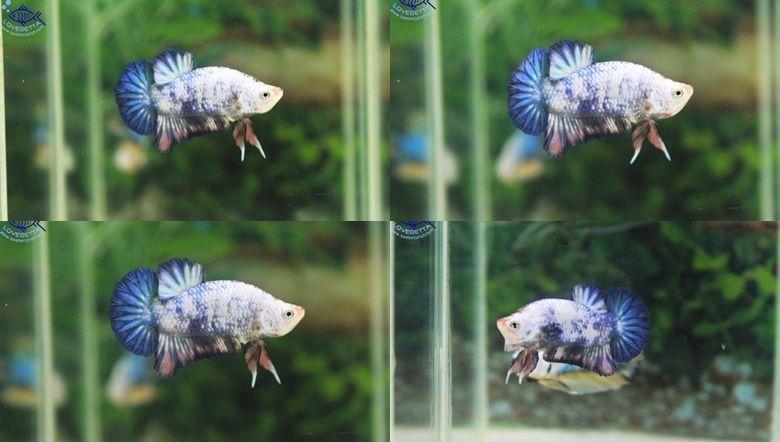 (ขายแล้วครับ)ปลากัดครีบสั้น - Halfmoon Plakats Fancy