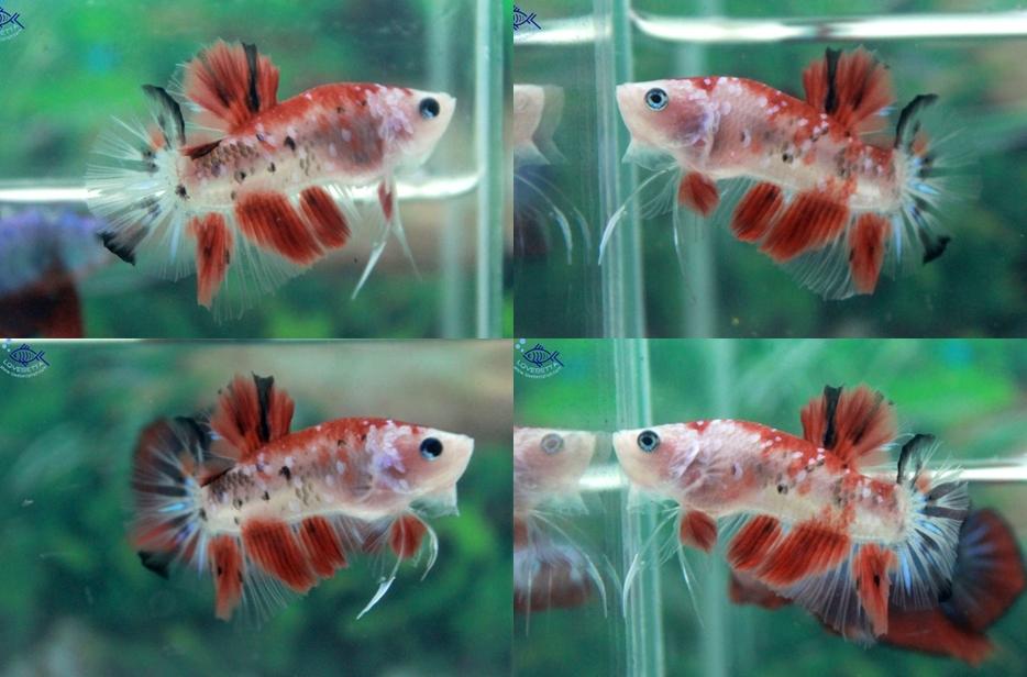 """(ขายแล้วครับ)""""คัดเกรด""""ปลากัดครีบสั้น-Halfmoon Plakats Fancy Red Koi"""
