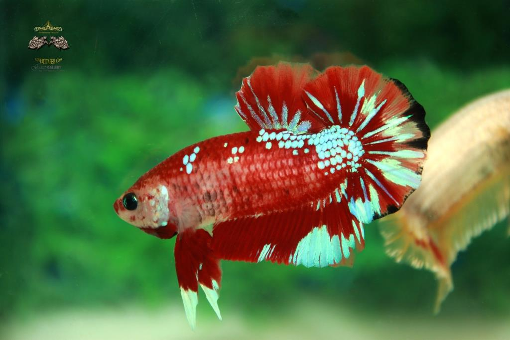 พิเศษโปรโมชั่นปลากัดคัดเกรดครีบสั้น - Halfmoon Plakad Fancy Dragon Quality Grade