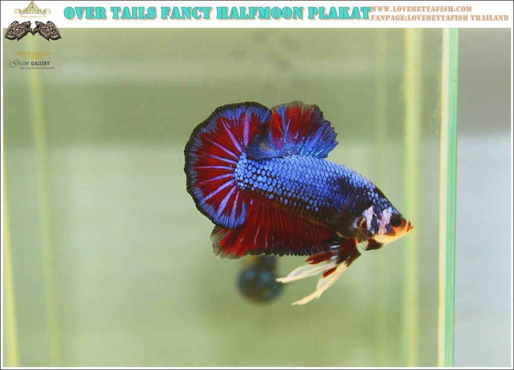 """(ขายแล้วครับ)""""คัดเกรด""""ปลากัดครีบสั้น-Halfmoon Plakats Fancy Red Blue OVer Tails"""