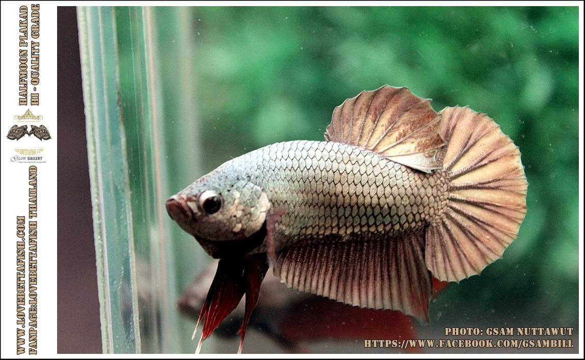 คัดเกรดปลากัดครีบสั้น-Halfmoon Plakad Copper Qaulity Grade