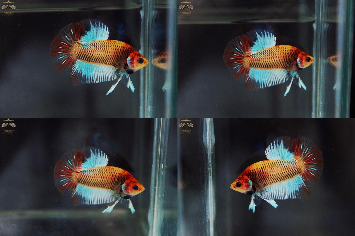 """(ขายแล้วครับ)""""คัดเกรด""""ปลากัดครีบสั้น-Halfmoon Plakats Fancy Dragon Cute Colors"""