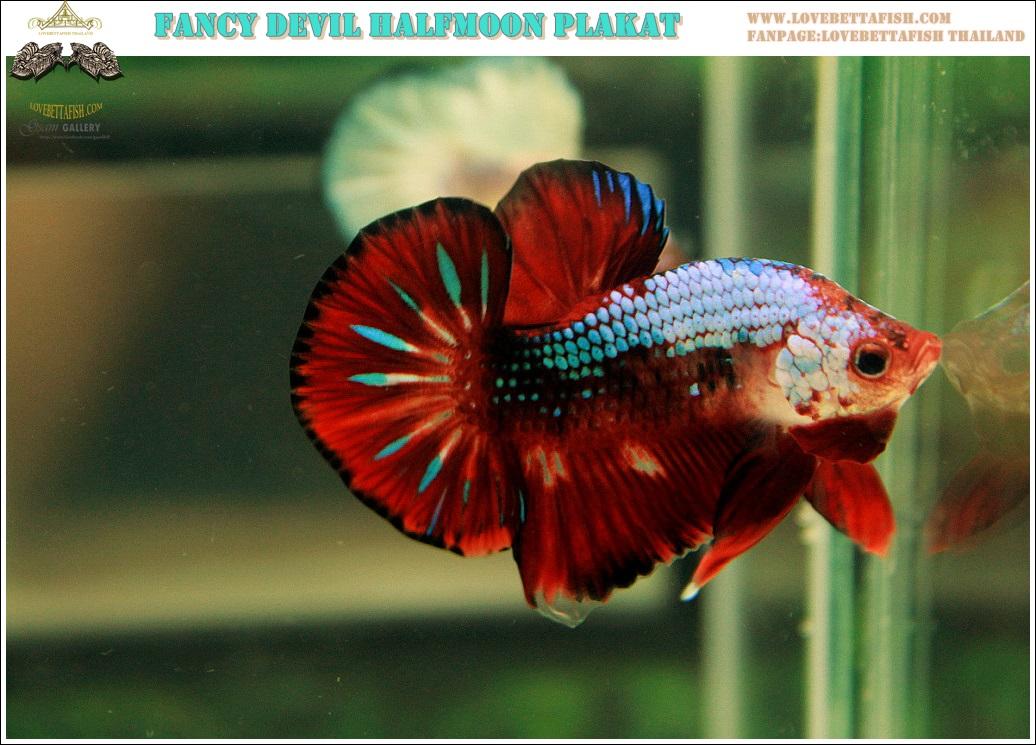 """""""คัดเกรด""""ปลากัดครีบสั้น-Halfmoon Plakats Fancy Dragon Devil Short Body"""
