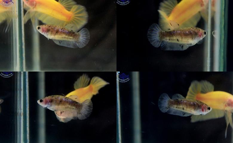 """(ขายแล้วครับ)ตอนรับเทศกาล สงกรานต์ """"คัดเกรด""""ปลากัดครีบสั้นตัวเมีย-Halfmoon Plakats Fancy Koi"""