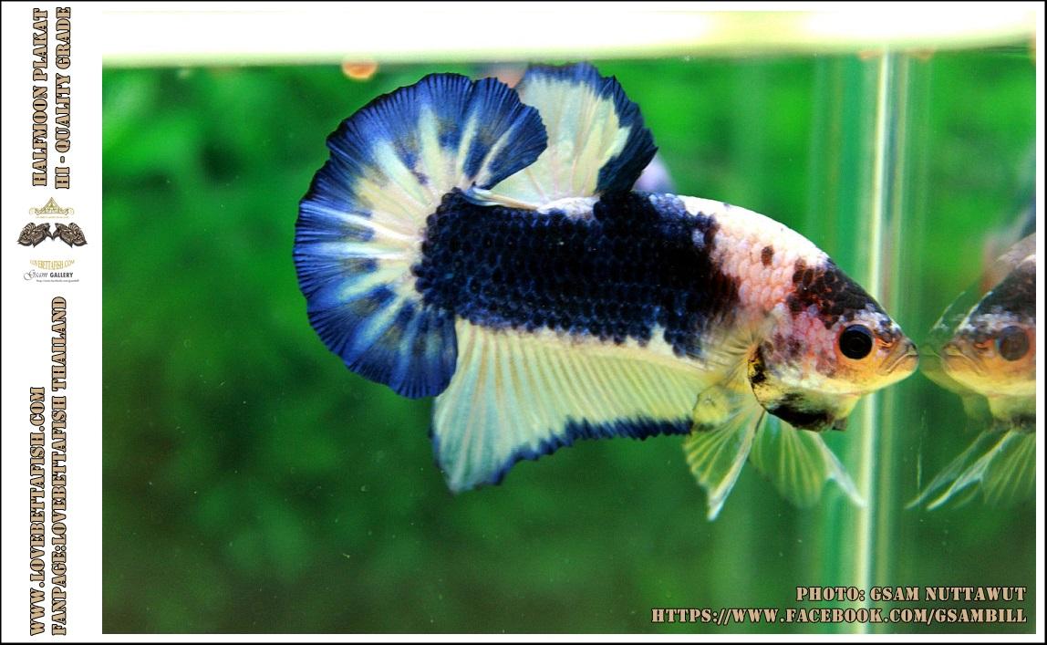 Hi - Premium Grade AAA+ คัดเกรดปลากัดครีบสั้น-Over Tails Halfmoon Plakad Fancy Blue Marble