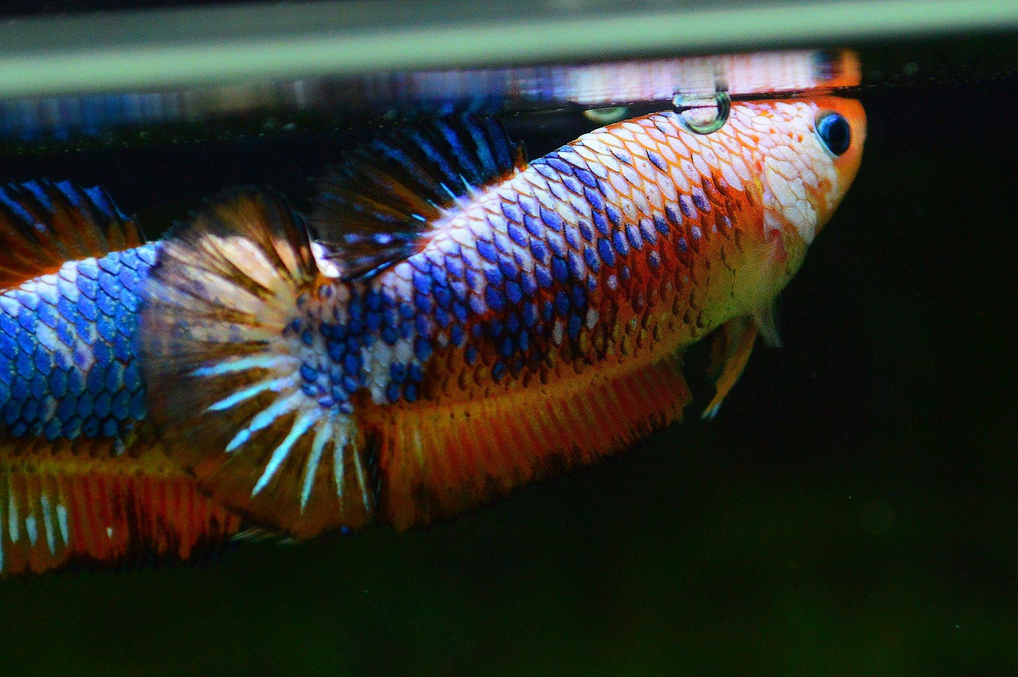 คัดเกรดปลากัดครีบสั้นเพศเมีย-Female Halfmoon Plakad Fancy Dragon Qaulity Grade