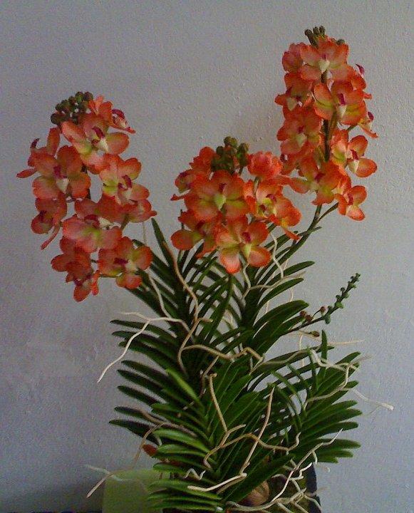 V005-แวนด้าสีส้มบนกระถางไม้ 3 ช่อ ( 40 ดอก)