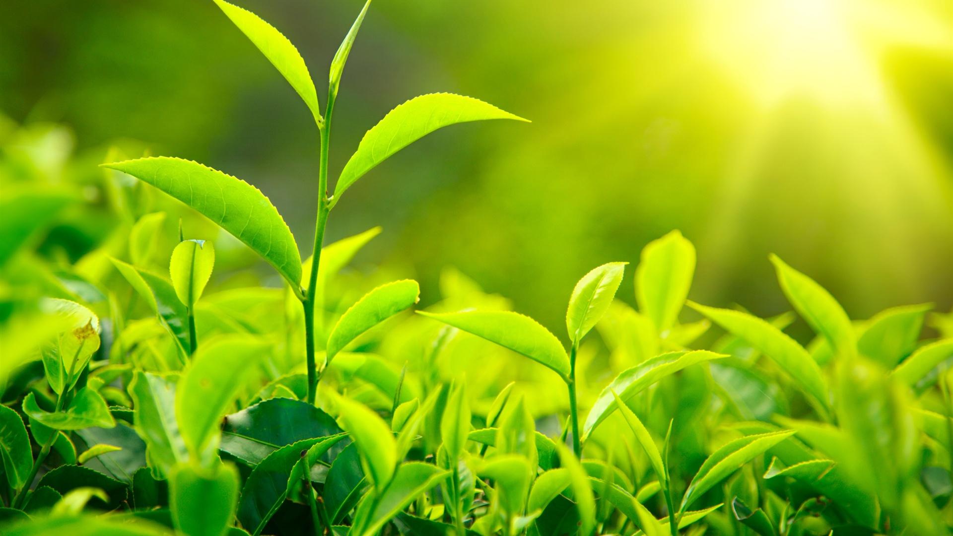 หัวน้ำหอม green tea : 002359