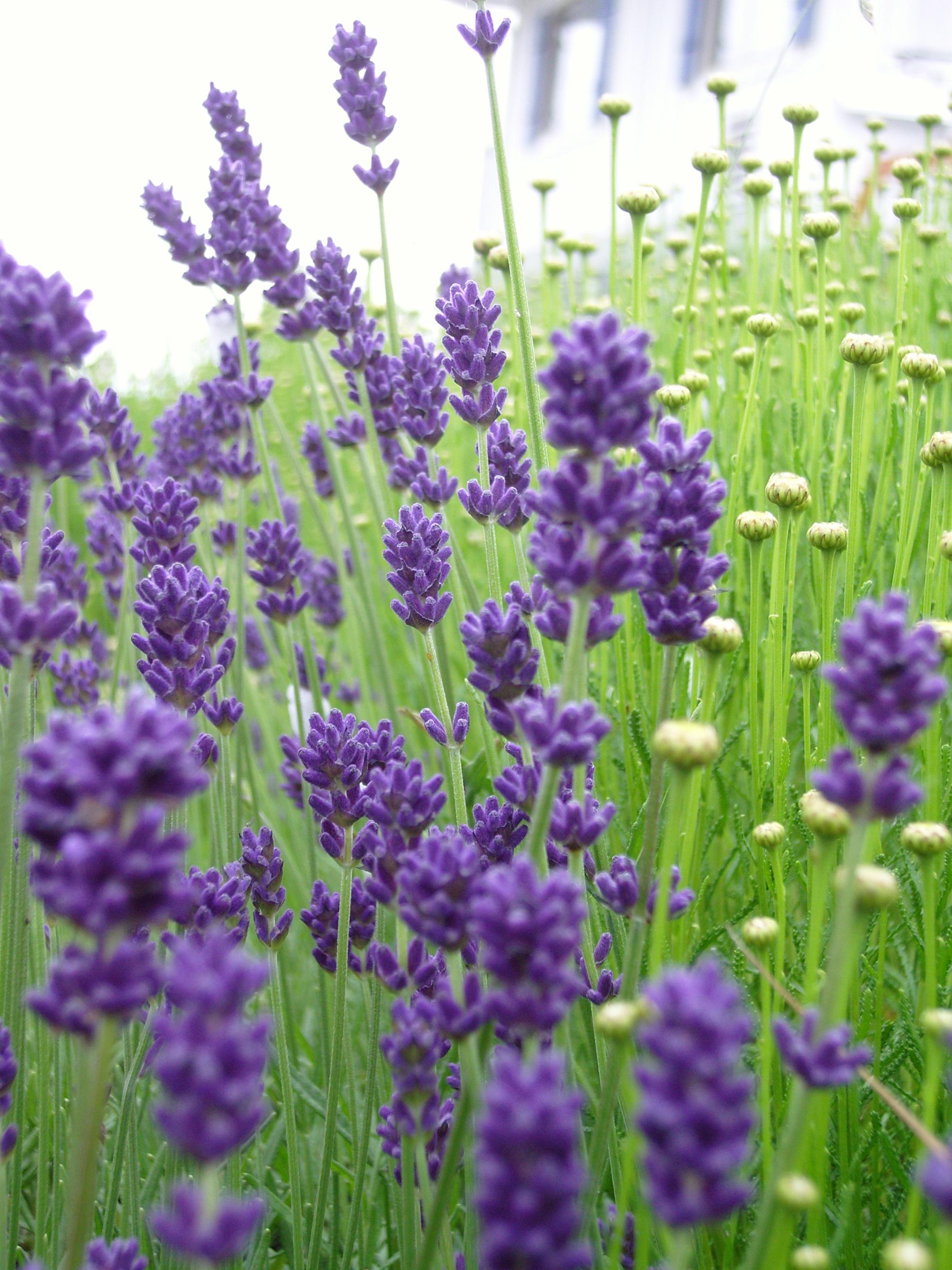 หัวน้ำหอมกลิ่น Lavender