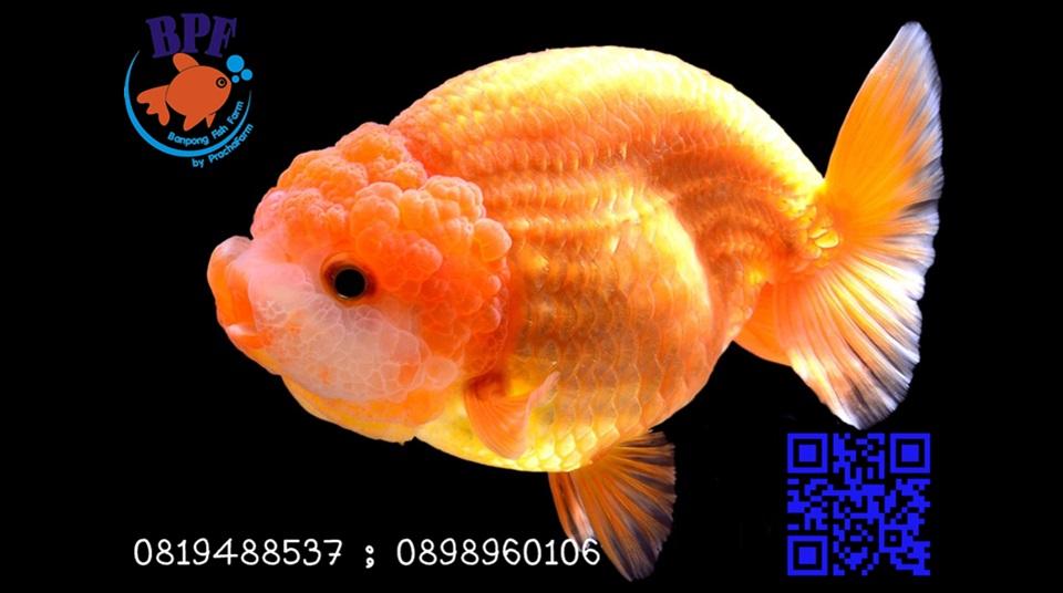 ปลาสวยงาม บ้านโป่ง ราชบุรี